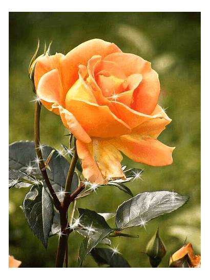 Amazing Flowers Yellow Roses Rose Garden Yomary1