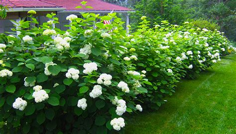 Low Maintenance Privacy Shrubs