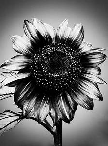 black and white sunflower | Black And White Photography Of ...