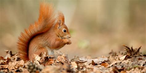 red squirrel army enlisted  fight  save species