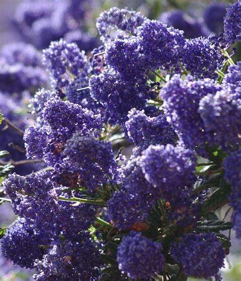 california tree with purple flowers ceanothus concha california mountain lilac