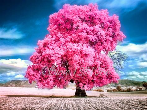 send bonsai tree gift aliexpress com buy 2016 big tree japanese seeds