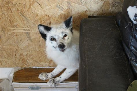 domesticated fox siberian cupcakes educates about trains domesticated foxes st george news
