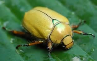 Yellow Beetle Bug