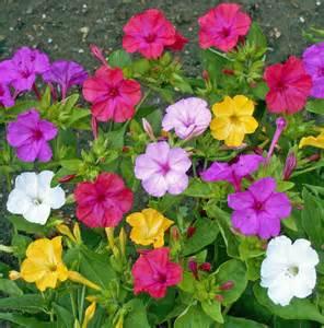 four o clock flower four o clock mirabilis jalapa mix yellow red by caribbeangarden