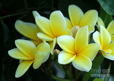 mellow yellow siege social mellow yellow plumeria photograph by sabrina l