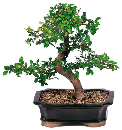 small japanese trees chinese elm bonsai tree asian plants by brussel s bonsai