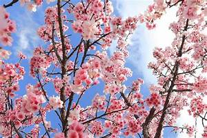22 Different Types Of Cherry Blossoms And Interesting Facts
