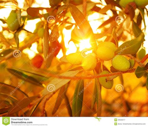 cuisine nature olive tree background royalty free stock photography