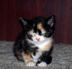 calico cat calico kittens great photos of kittens