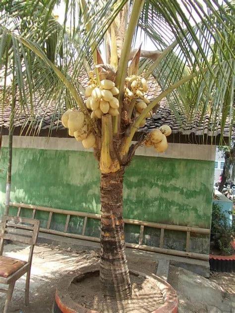 tips menanam pohon kelapa gading depan rumah bibit