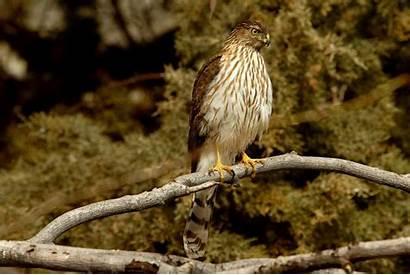 Hawk Cooper Bird Birds Branch Hawks Wallpapers