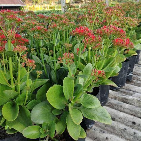กุหลาบหินสายพันธุ์ Adagio ดอกกุหลาบเป็นสีแดง | Shopee Thailand