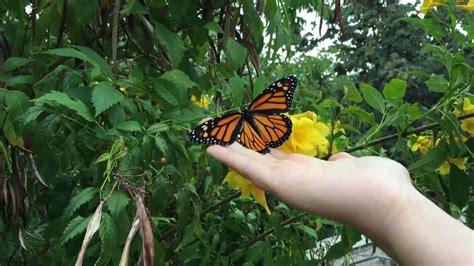 Monarch Butterfly Release - YouTube