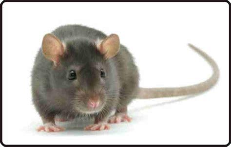 animals plants rainforest rats sample pictures