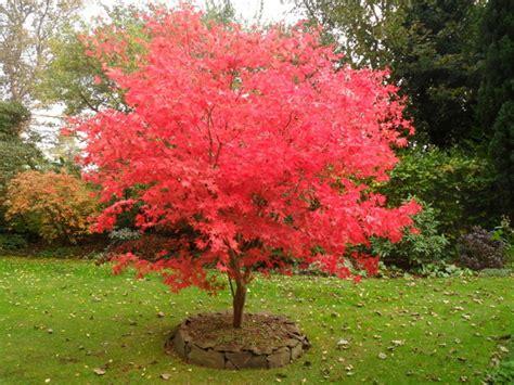 alberi per giardino 4 piccoli alberi per il tuo piccolo giardino garden4us