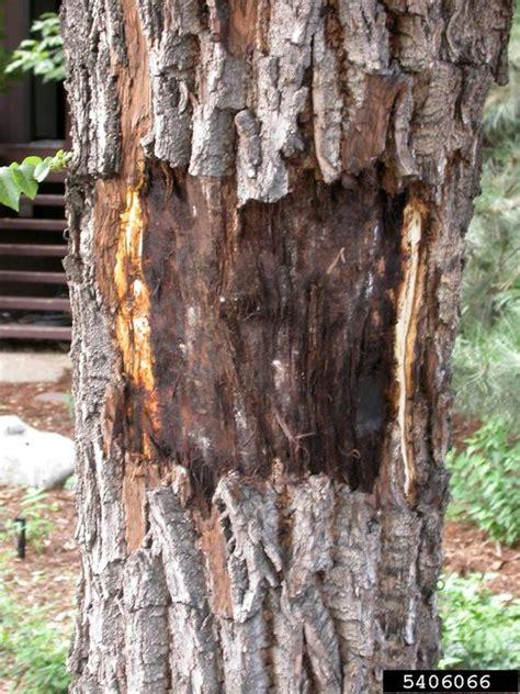 thousand cankers disease geosmithia morbida  black walnut juglans nigra