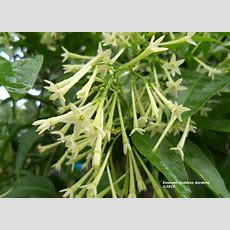 Night Blooming Jasmine Fragrant Tropical Plant Cestrum