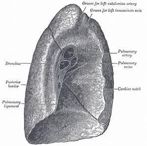 Lung Anatomy