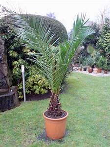 Phoenix Canariensis Pflege : palmen in d mpten ~ Lizthompson.info Haus und Dekorationen