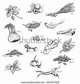 Spices Herbs Vector Coloring Pages Medicinal Template Shutterstock sketch template