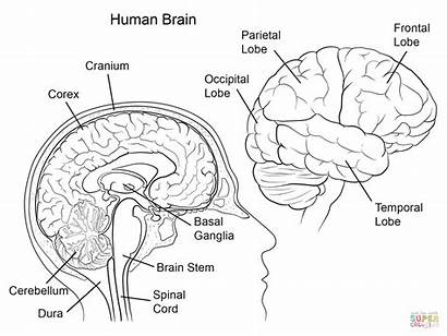 Brain Anatomy Human Coloring Pages Supercoloring Super