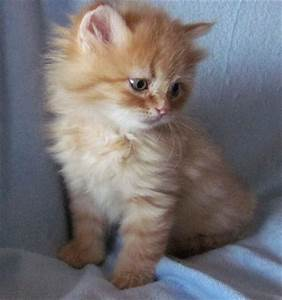 Orange Tabby Siberian Kitten - $750.00 - Siberian Cats For ...