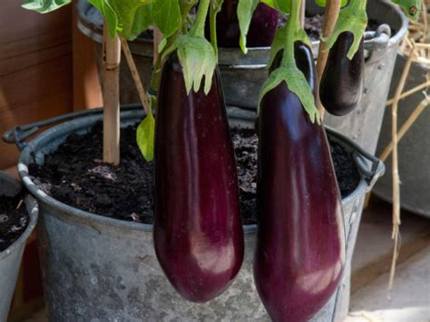 tips  growing eggplant   pot  container
