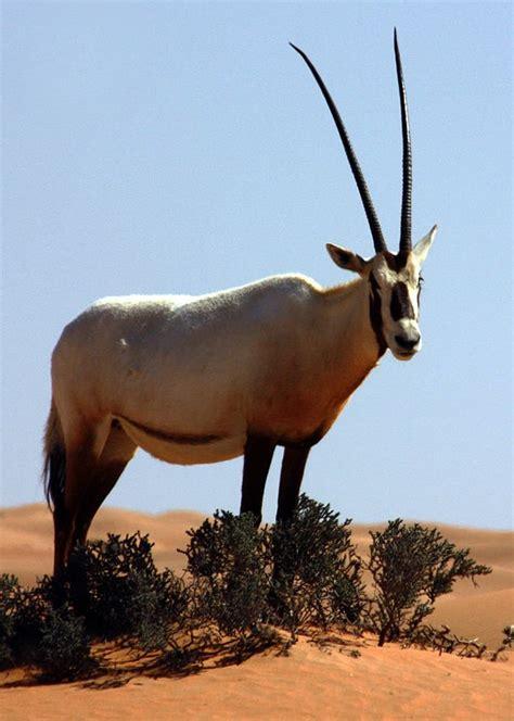 Arabian Oryx  Japari Library, The Kemono Friends Wiki