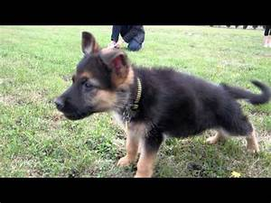 Maximus (German Shepherd) Barking and Growling ...