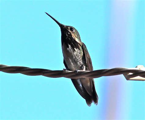 birding is fun new mexico hummingbird festival 2013
