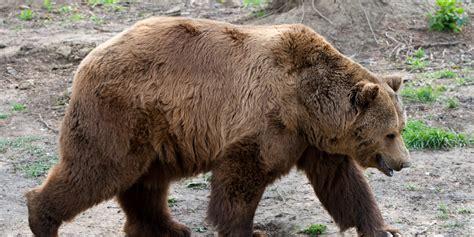 Castlegar Bear Killed After Injured By Arrow, Resident