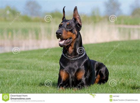 portrait  black dobermann stock photo image