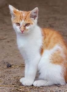 Cat Flea Bites On Cats