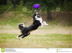 Frisbee Dog Stock graphy Image