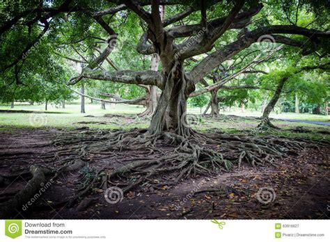 large ficus tree big ficus tree in sri lanka stock image image 63916627 3651