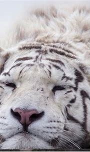 White Tiger Facts for Kids - All About White Tiger - Kidz Feed