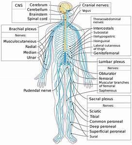 Peripheral Nervous System Parts  Divisions  U0026 Peripheral