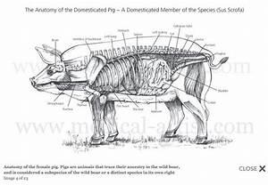 Female Pig Anatomy