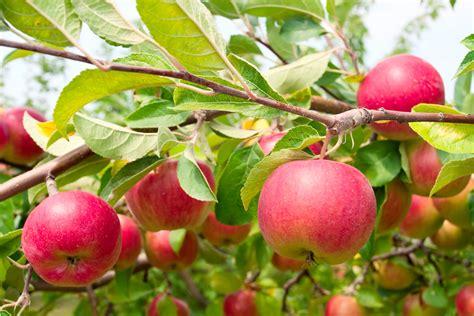 Fruit Trees — Sunnyside Nursery