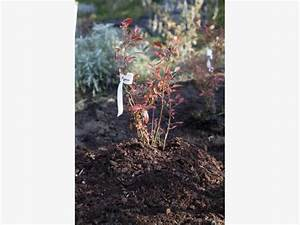 Wann Heidelbeeren Pflanzen : heidelbeeren richtig pflanzen mein sch ner garten ~ Orissabook.com Haus und Dekorationen