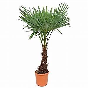 Palmen Kaufen Baumarkt : palmen online kaufen ~ Orissabook.com Haus und Dekorationen