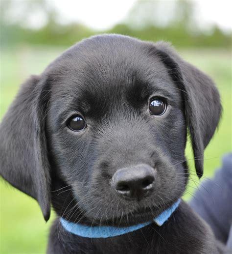 kc registered black labrador retriever puppies
