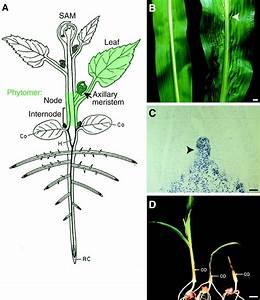 Knox Genes  Versatile Regulators Of Plant Development And