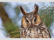 20 Excellent Photos of LongEared Owls Best Photography