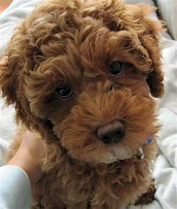 Best 25 Cockapoo Dog Ideas On Pinterest Toy Cockapoo