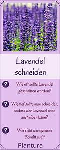 Wann Lavendel Schneiden : lavendel schneiden wann und wie zur ckschneiden balkon pinterest garden container ~ Eleganceandgraceweddings.com Haus und Dekorationen