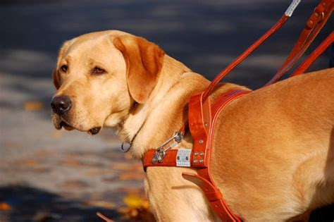 guiding for the blind the 10 misconceptions about guide dogs for the blind