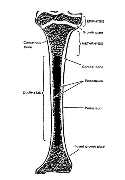 Simple Bone Diagram by 3 Schematic Diagram Of A Tibia Showing Different Parts Of