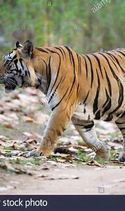 Bengal Tiger (Panthera tigris tigris) Munna a dominant ...